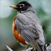 starfleet: Profile of a robin (The Vigilante)