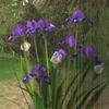 thestrangeaeons: (iris)