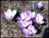 wraavr: (crocuses)