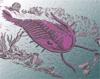 redbird: purple trilobite (trilobite, purple trilobite)