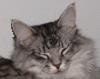 mithriltabby: Sleeping tabby (Zonk)