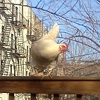 rosefox: A chicken perched on a fence with apartment buildings behind it. (Brooklyn)