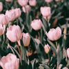 lizcommotion: pink tulips (tulips)