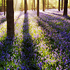 lizcommotion: a forest filled with sunlight and small purple flowers (spring trees)