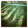 anenome: (grass)