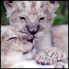 inarticulate: baby lion cubs from zooborns.com cuddling (i give u loevs)