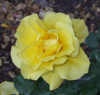 chemicallace: (Yellow Rose)