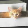 chemicallace: My cat Saga with only her head sticking out of a box, looking directly at the camera. (Saga in a Box)