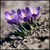 umadoshi: Three purple crocuses poking up from the soil. (spring - crocuses!)