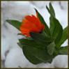 m_mcgonagall_65: (flower)