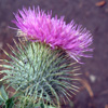 catspaw: (purple thistle)