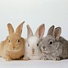 elfwhistletree: Three cute fluffy bunnies (bunnies)