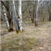 ixt: Photo of birches and brown grass in the spring (trees)
