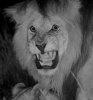 narrativian: black maned lion doing the wild thing (F: wrowwwrrr)