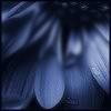 klgaffney: wet and misty close up shot of blue flower petals. (blue.)