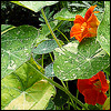 klgaffney: a photograph of bright orange nasturiums (alaska mixed variety). (garden)