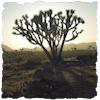 tenaya: (joshua tree)