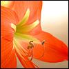 angryoldhag: Orange amaryllis (amaryllis)