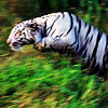 distractionary: a white tiger leaping over greenery (like a big striped rock from somewhere)
