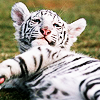 distractionary: really adorable white tiger cub with feline grin (with our eyes like icepicks)
