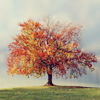 vorpal: Stock image of a sugar maple in autumn (autumn tree)