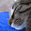 holyschist: Icon of a sleeping tabby cat (cats)