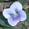 redbird: closeup of white-and-purple violet (violet)