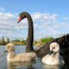emef: (black swan)