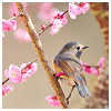 misqueue: grey titmouse(?) sitting amongst blossoms (glee - blaine & kurt share a smile on st)