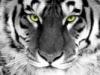 ishtar111: (Тигр)