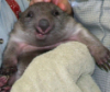 sir: Wombat (pic#300638)