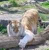sir: Red Tabby Tiger ()