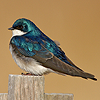 iambetadraconis: (Tree swallow)