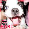 "forchancookie: My Boston Terrier as a puppy <3 (Niku says ""RAR!"")"