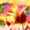 quimtessence: (Tulip)
