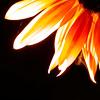 thesoundof: (sunflower)