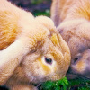 ailurophile: Rabbits in field (rabbits)