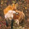 mm_mythos: (Fox)