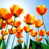 awehla: (tulips)