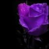 rosabelle: off center purple rose on black background (misc - purple rose)