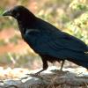 gimmegimme: (Crow - standing)