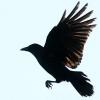 gimmegimme: (Crow - flying)