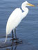 onyxlynx: Egret standing on drainage pipe at the lake. (No Egrets)