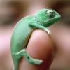 st_aurafina: a tiny chameleon wrapped around a little finger (Dreamwidth: baby chameleon)