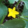 sashajwolf: photo of cucumber flower in our back garden (earth, gardening)
