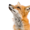 pensnest: very cute fox looking up and to the left (adorable fox is adorable)