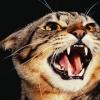 khana: an angry cat (Katze - fauch)