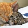 khana: snuggling kittens (Katze - kuscheln)