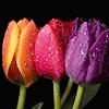 thoughtsbykat: (tulips)