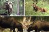 rthstewart: (Moose)